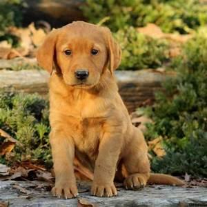 Golden Labrador: History, Facts, Personality, Temperament ...