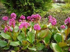 ranunculus flowers bergenia cordifolia plant id hcp