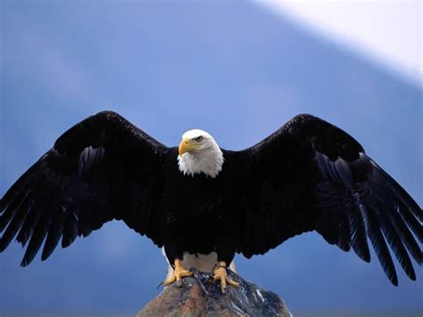 wallpapers blog bald eagle wallpaper