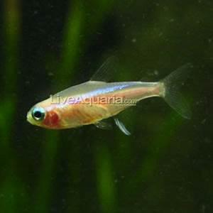 Gold Neon Tetra Here fishy fishy