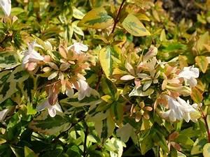 Abelia Grandiflora Kaleidoscope : abelia x grandiflora 39 kaleidoscope 39 pbr v abelia ~ Melissatoandfro.com Idées de Décoration