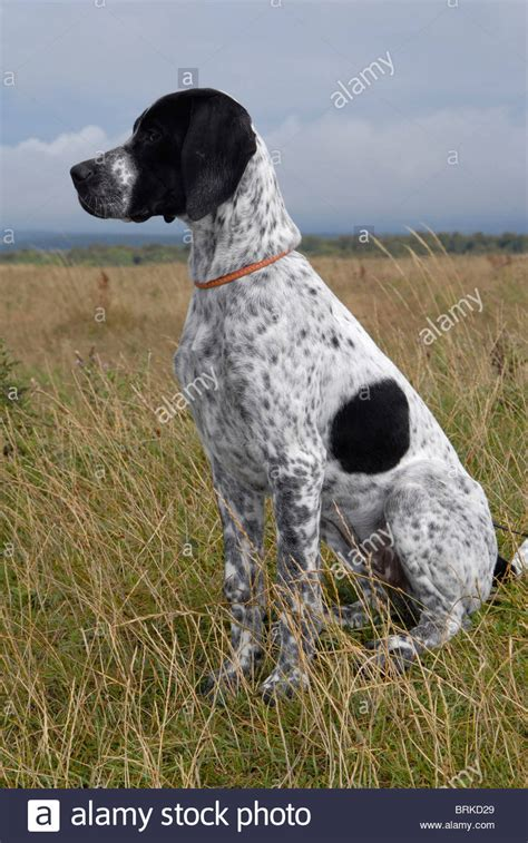 Young Black White English Pointer Bitch The Sit