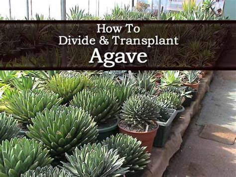 how to care for agave plant agave plants growing care and use in the landscape and indoors agaves container gardening