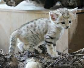 sand cats for sand ferrebeekeeper