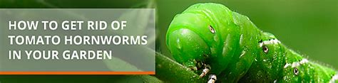 how do i get rid of tomato worms how to get rid of tomato hornworms in your garden
