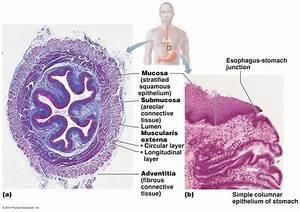 esophagus histology - Google Search | GI | Pinterest