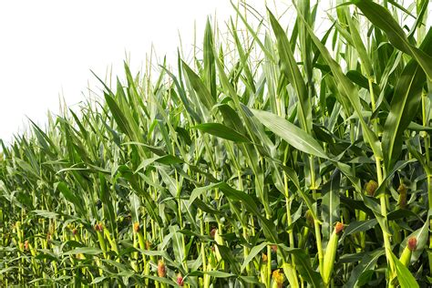 Importing maize stabilizes prices at home - Physics World
