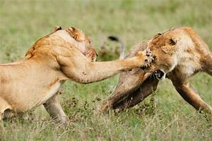 The african lions striking strength - The Student Room