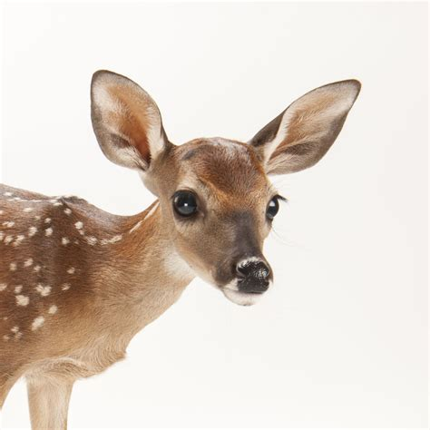 white tailed deer national geographic