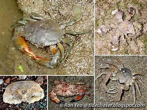 The Tide Chaser  True Crabs  Phylum Arthropoda  Infraorder Brachyura  Of Singapore