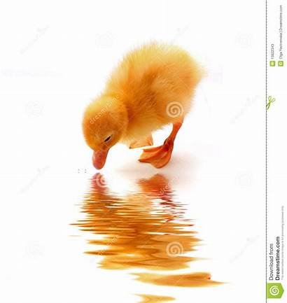 Water Reflection Duck Clipart Fountain Background Clipground