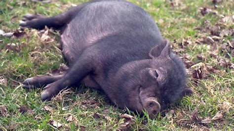 pot bellied pig kitchener resident wants bylaw exemption for pot bellied pig ctv kitchener news
