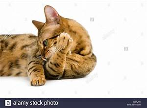 Brown Spotted Tabby Bengal Domestic Cat Grooming against ...