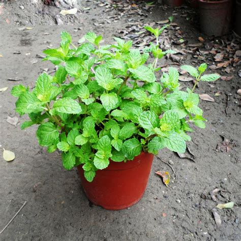 aromatic plant seeds mint peppermint green spice plant seeds balcony potted flowers