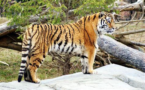 Animal Wallpapers Hd Widescreen - tiger widescreen hd animal wallpaper desktop