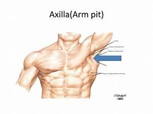 Armpit Anatomy
