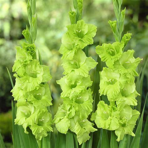 flower homes gladiolus flowers