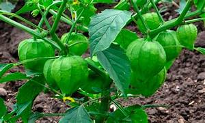 Tomate Verde Planta | www.pixshark.com - Images Galleries ...