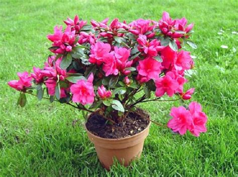 azalea coltivazione in vaso azalea coltivazione in vaso e in giardino come fare