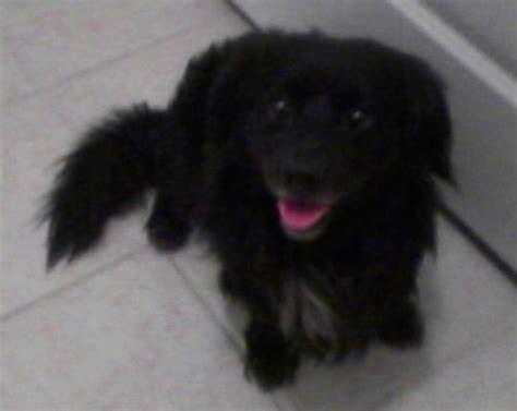 Mini Englisher Dog Breed Information