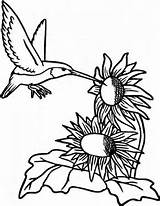 Coloring Hummingbird Sunflower Pages Sunflowers Printable Extract Nectar Hummingbirds Seeds Template Sketch Advanced Getcolorings sketch template