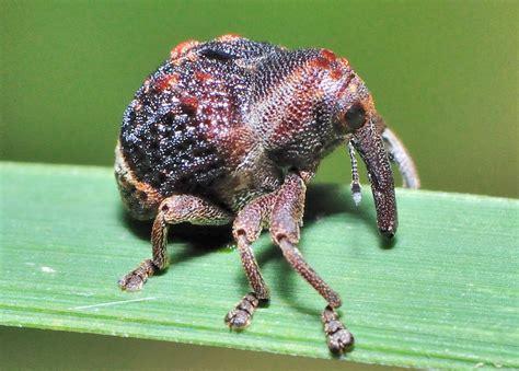 subfamily curculioninae  eyed weevils