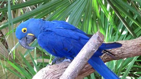 Blue Macaw Bird Song
