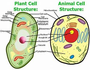 Vacuole Function In Animal Cell Quizlet