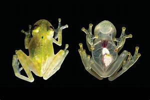 You Can See the Living Heart of This 'Glass Frog' - The ...