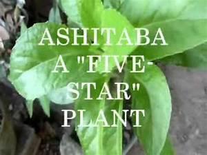Five Star Plant Ashitaba Localnewsnet  Cvpatrol 11