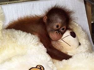 baby orangutang cuddles teddy luvbat
