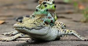 These Incredible Pictures Capture The Moment A Family Of Frogs Ride On The Back Of A Crocodile