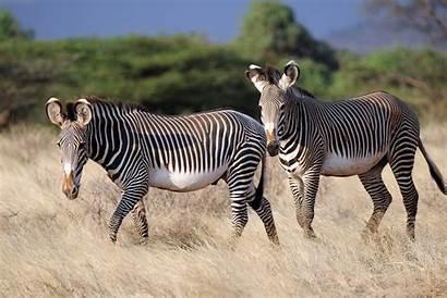 Zebra Animales Imagenes Wallpapers Animal 4k Desktop