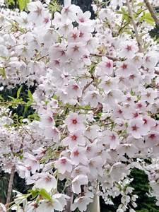 Taille De Cerisier : cerisier fleur yedoensis prunus yedoensis le jardin ~ Melissatoandfro.com Idées de Décoration