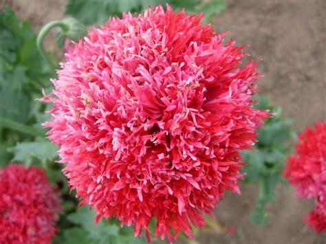 poppy varieties pictures fire snow poppy seedman so many different varieties plants pinterest poppy flower