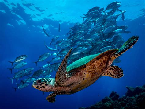 Sea Turtle Picture  Underwater Photo National