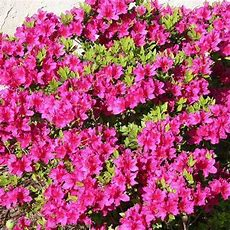 Buy Girards Fuschia Azalea Online  Flowering Shrub Bay