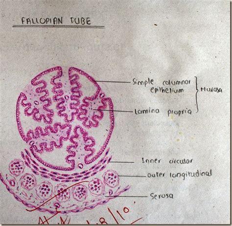 Uterus Fallopian Tubes Diagram - General Wiring Diagram