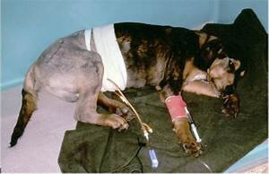 Cystostomy  Tube Technique In Dogs