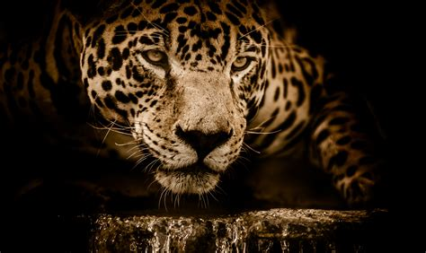 Jaguar Xf 4k Wallpapers by Wallpaper Jaguar Hd 4k Animals 10785