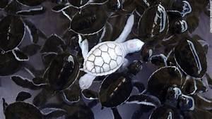 Rare albino turtle found on Australia beach - CNN.com