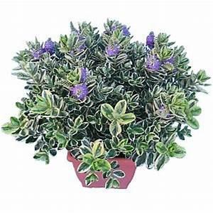 Fleur D Hiver Pour Jardinière : fleurs exterieur automne hiver ~ Dailycaller-alerts.com Idées de Décoration