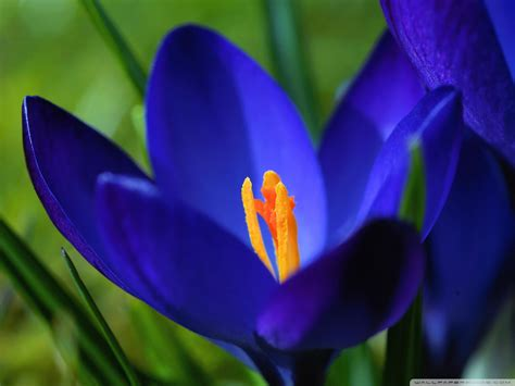 Free Blue Crocus Flowers phone wallpaper by mikeyman1