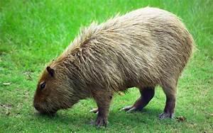 File:Capybara Hattiesburg Zoo (70909b-42) 2560x1600.jpg ...