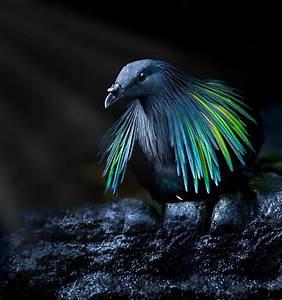 Meet The Closest Living Relative To The Extinct Dodo Bird