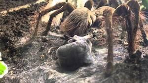 Goliath Bird Eating Spider Eating A Snake