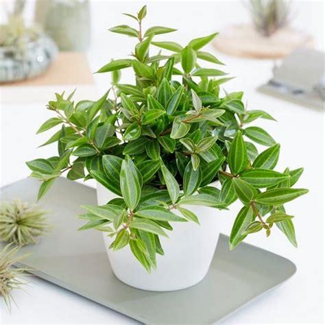 peperomia types peperomia plant varieties