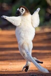 Animals dancing... Cute Lemur Quotes