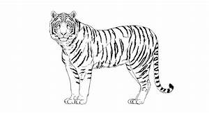 Tiger Drawing Png  U0026 Free Tiger Drawing Png Transparent
