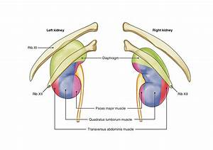 Luxury Pictures Of Where Kidneys Are Located
